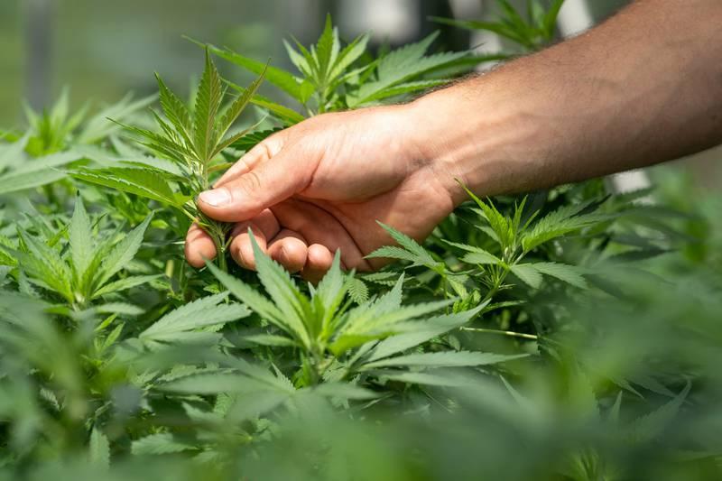 Una investigación reciente reveló que dejar el hábito de Spice es aún más difícil que dejar el cannabis.
