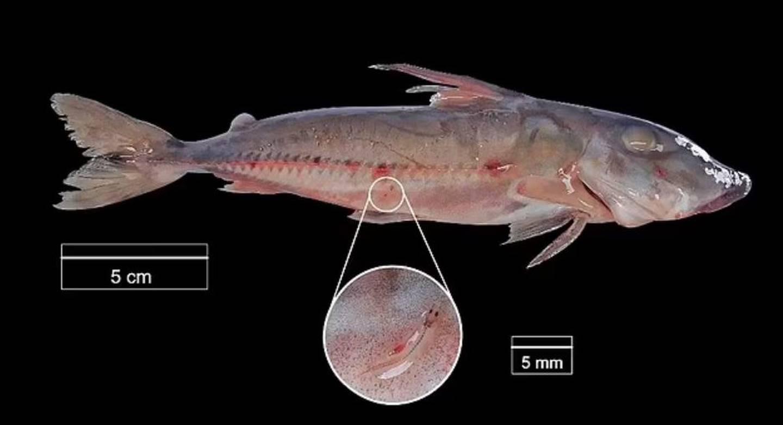 La investigación no dejó claro por qué estos peces vampiro se suben al bagre espinoso.