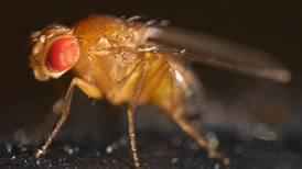 Estudio encuentra que las moscas sufren el confinamiento de la misma manera que los humanos