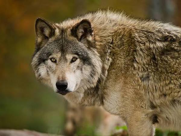 Lobo japonés que se extinguió hace más de un siglo podría ser el ancestro salvaje más cercano del perro moderno