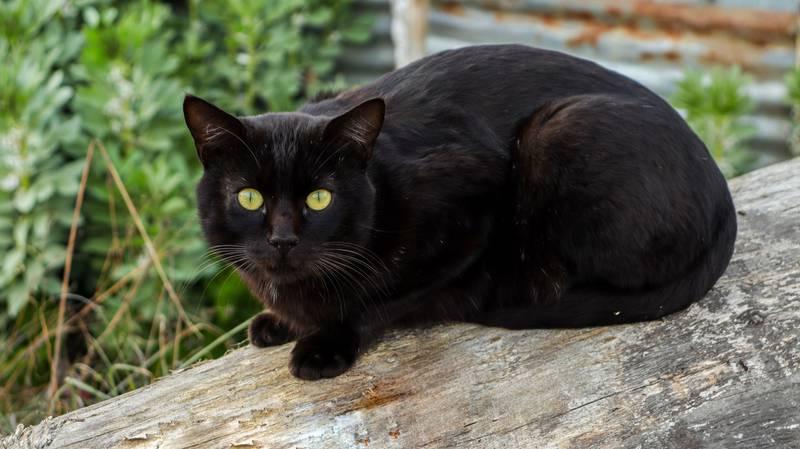 La necesidad de comer alimentos y nutrientes para los gatos se satisfacen en casa, con croquetas o comida húmeda.
